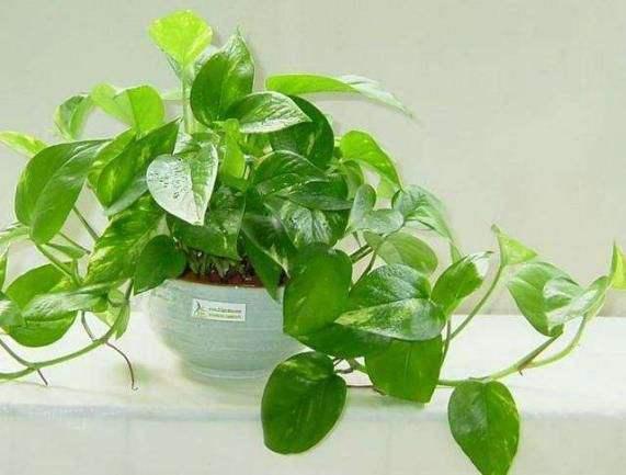 去除甲醛的綠植有哪些?你家里有嗎?
