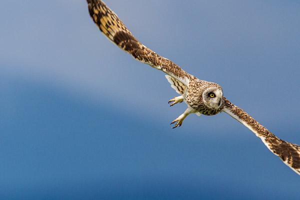 Short eared owl at Ninepipe WMA near Ronan, Montana