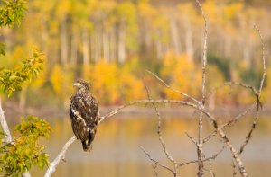 Immature bald eagle on branch above Lower St Mary lake near Babb Montana - Chuck Haney Photography