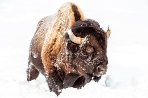 Bison bull foraging in deep snow in Yellowstone National Park, Wyoming, USA