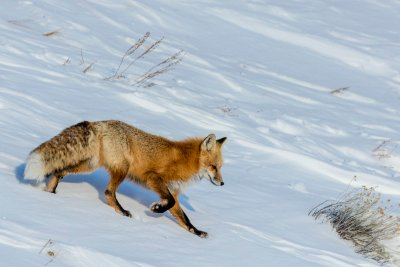 Red fox in winter in Yellowstone National Park, Wyoming, USA