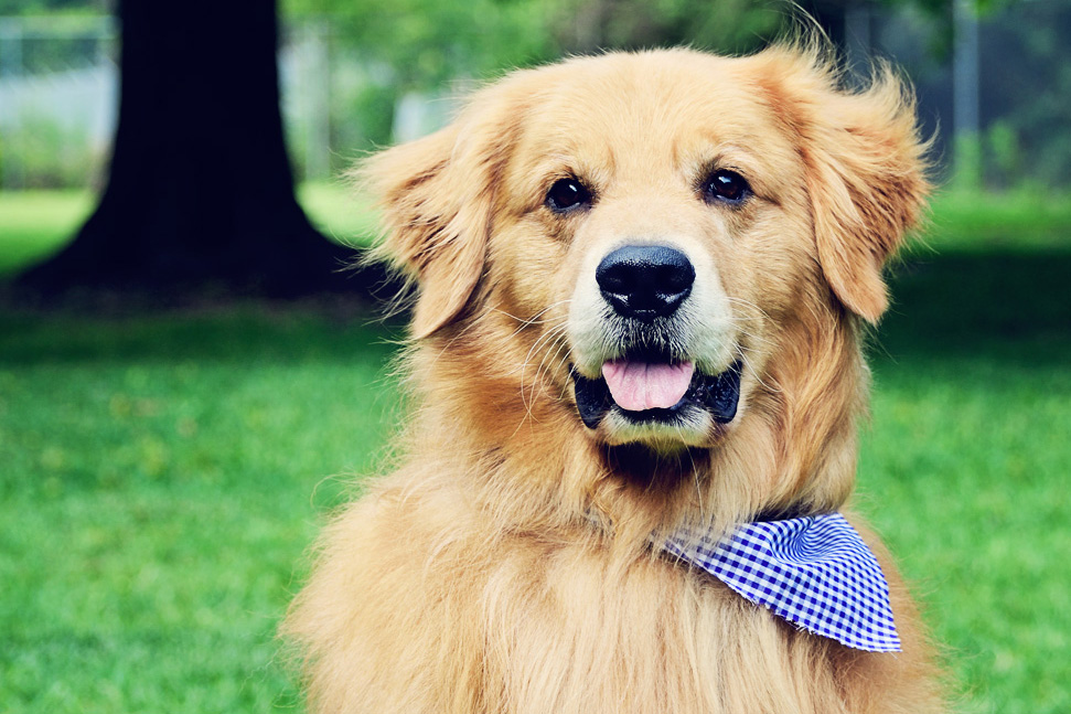 Dog Grooming Charleston - Golden Retriever