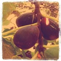 capay organic farm