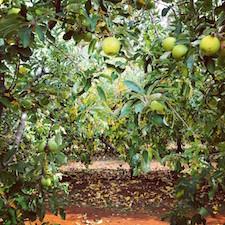 colhendo maçãs