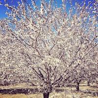 almond blossoms