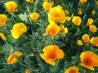californiapoppies2.JPG