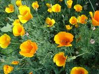 californiapoppies3.JPG