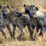 banquete de hienas