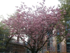 Many friendships were celebrated under the shelter of this particular cherry tree at Church High.