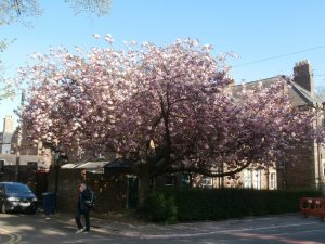Like a huge pink parasol: the flowering cherry in front of Tankerville House.