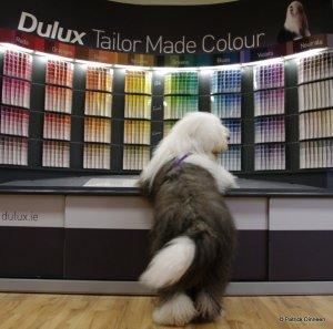 dulux-dog