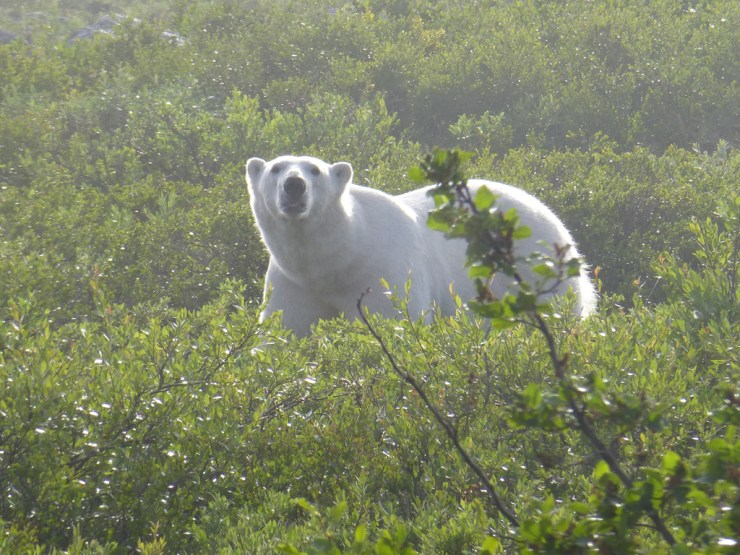Misty morning polar bear at Seal River.