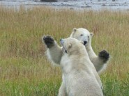 Playing-Polar-Bears--Seal-River_heritage-Lodge-Fred-Walker