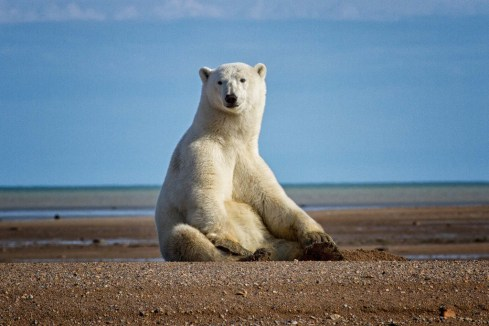 Polar-Bear-on-beach-Nanuk-polar-Bear-Lodge-Jo-Eland