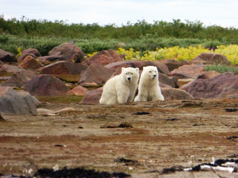 polar-bear-cubs-seal-river-heritage-lodge-Julie-Barnett