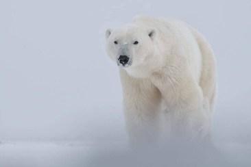 polar-bear-emerging-from-snow-squall-churchill-wild-robert-postma-1024