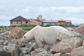 polar-bear-in-front-of-seal-river-heritage-lodge-dennis-fast