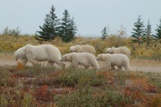 polar-bear-mon-4-cubs-summer-nanuk-polar-bear-lodge