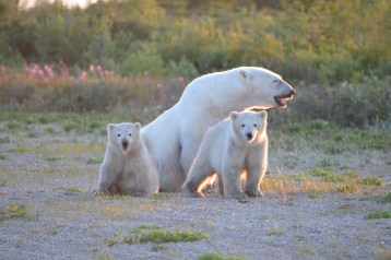 summer-polar-bear-family-churchill-wild