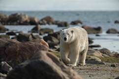 summer-polar-bear-in-rocks-seal-river-heritage-lodge