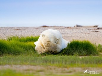 summer-polar-bear-monday-feeling-nanuk-travel-for-wildlife