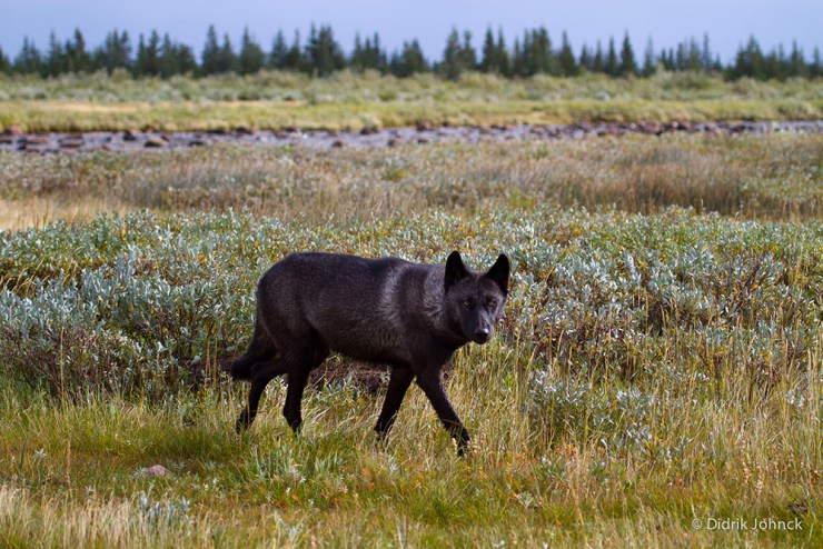 Wolf at Nanuk Polar Bear Lodge. Didrick Johnck photo.