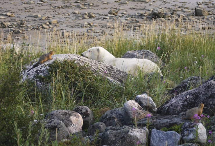 Sik sik in conversation with polar bear at Seal River Lodge. J. Sheperd photo.