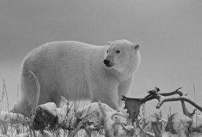 Whte, grey and black polar bear photo. Seal River Heritage Lodge.