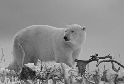 Whte, grey and black polar bear photo. Seal River Heritage Lodge.