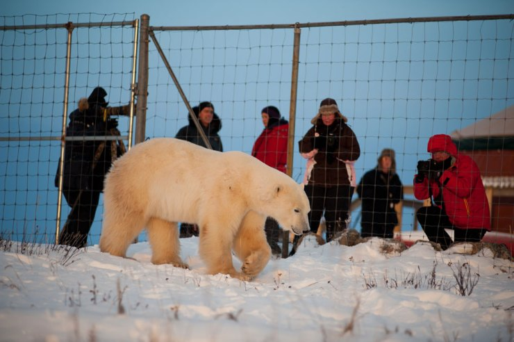 Polar bear saunters by fence at Seal River Lodge. Birgit-Cathrin Duval photo.
