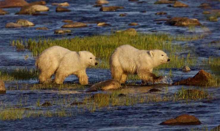 Polar bear cubs following Mom across a river at Nanuk Polar Bear Lodge.