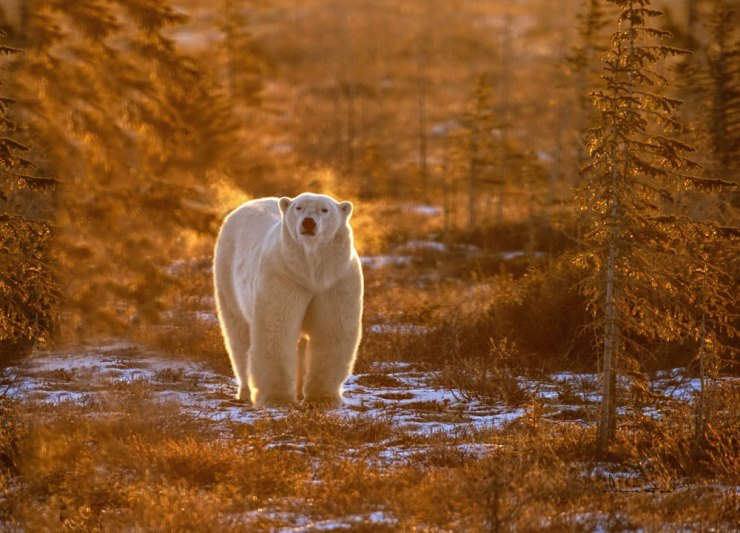 Polar bear in morning sun and fog at Dymond Lake Lodge. Dennis Fast photo.