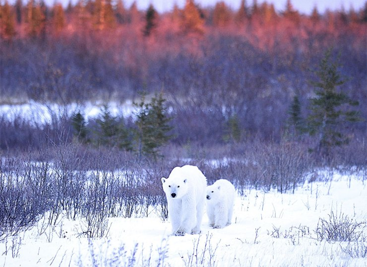 Polar bear Mom and cub at Nanuk Polar Bear Lodge. Photo courtesy of Ian Johnson Safaris and Photography.