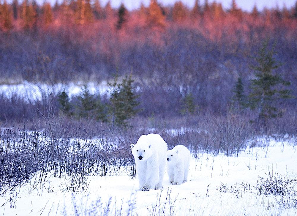 [Image: polarbears2ianjohnsonnanuk.jpg?w=1000&ssl=1]