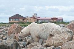 polarbearsealriverdennisfas