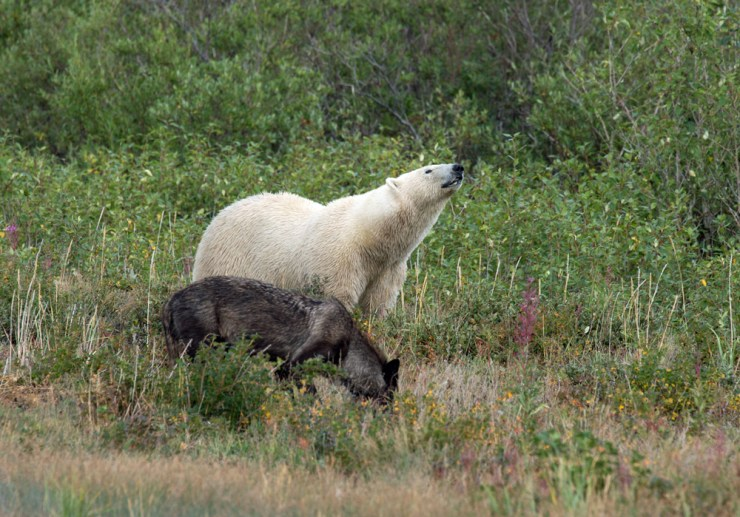 Wolf and polar bear sharing the wilderness at Nanuk. George Kourounis photo.