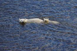 Polar-Bears-Swimming