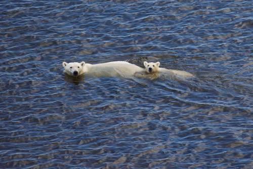 Polar-Bears-Swimming