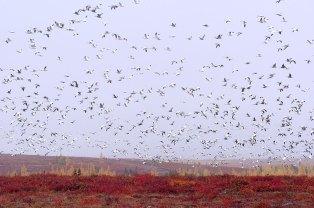 Dennis-Fast-Schmok-geese