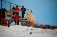 Polar-Bear-standing-at-fence-Brigit-Cathrin-Duval