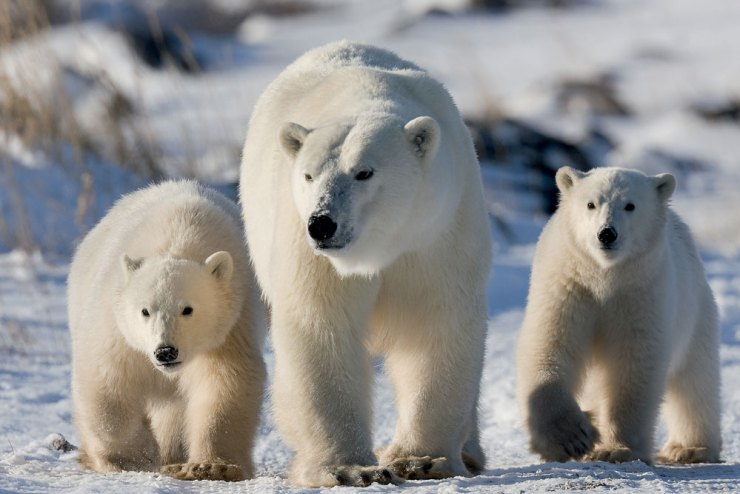 Polar Bear mom and cubs at Dymond Lake Ecolodge.