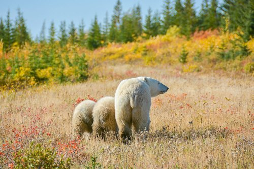 Tony-Yang-M&C-Polar-bear