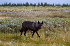 Wolf-by-Didrik-Johnck