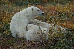 arctic-discovery-baby-bears-feeding