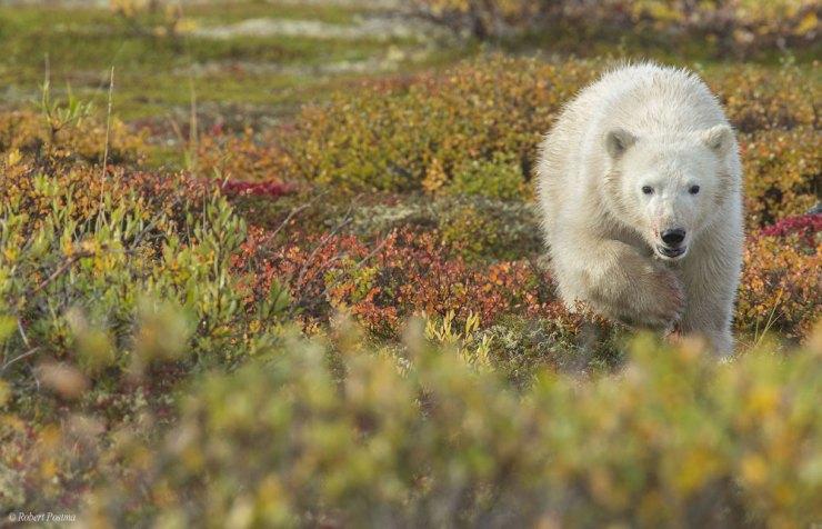 polarbearcubpostma