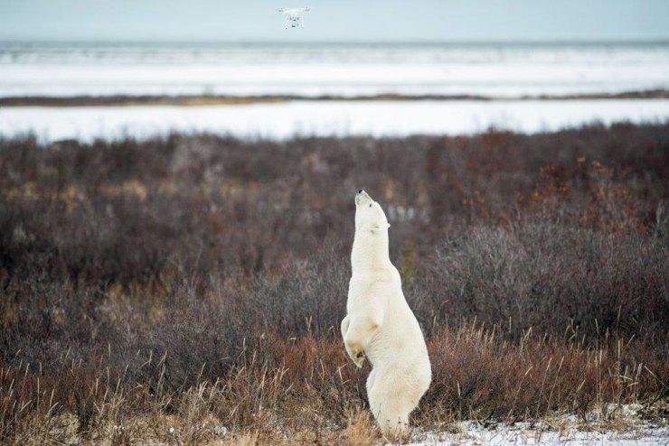 Polar bear checking out drone at Nanuk Polar Bear Lodge. Zach Doleac photo.