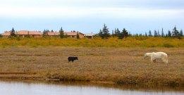 wolf-bear-nanuk-lodge