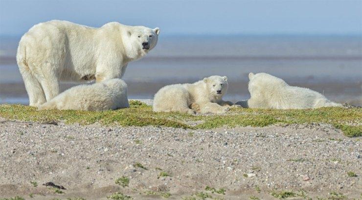 Polar bear Mom and cubs on gravel bar at Nanuk Polar Bear Lodge.