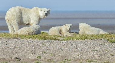 polarbearsongravelbarnanuk