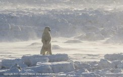 polarbearsurveysdomainsealr